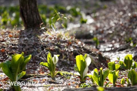 嶺公園内の湿生花園に咲く水芭蕉