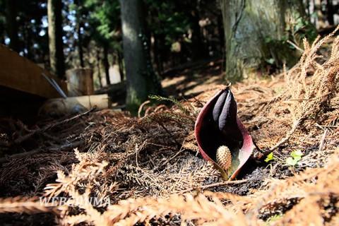 座禅草自生地内の木道そばに咲くザゼンソウ