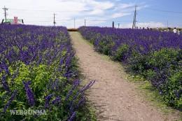 鼻高展望花の丘に咲くラベンダー