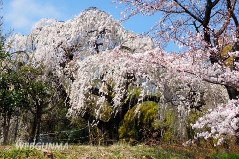 高崎市上奥平のしだれ桜