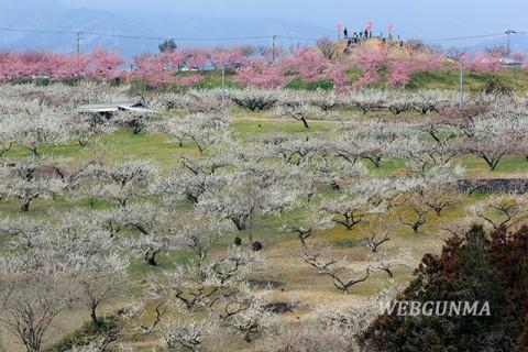 箕郷梅林 梅と河津桜が咲く善地梅林広場