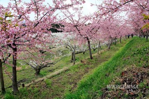 善地梅林広場の河津桜