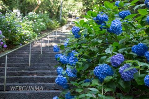 清水寺の石段に咲くアジサイ