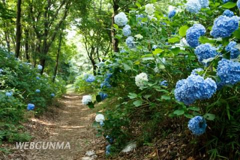 山上城址の空堀に咲くアジサイの花