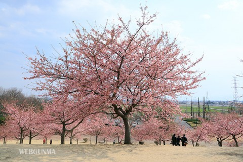 いせさき市民の森公園 河津桜