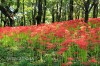 境御嶽山自然の森公園の彼岸花
