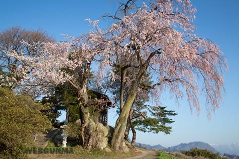 川田のしだれ桜