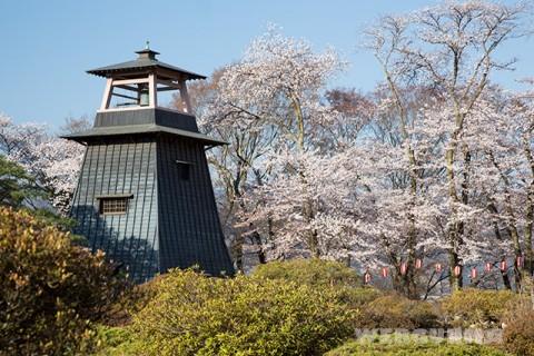沼田城址の桜