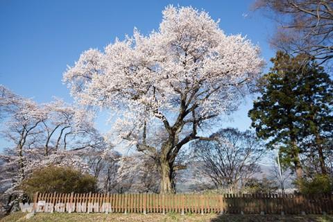 沼田城御殿桜