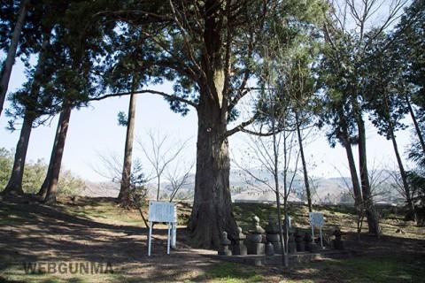 雲谷寺の大杉