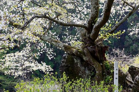 石割桜(沼田市)