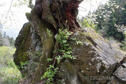 石割桜の根と大岩