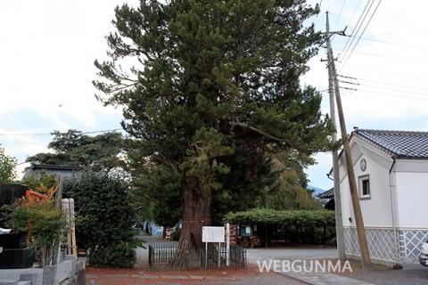正覚寺のコウヤマキ