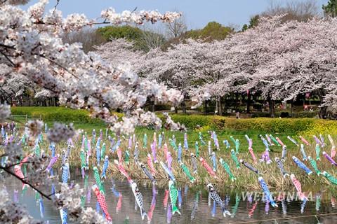 鶴生田川の桜とこいのぼり