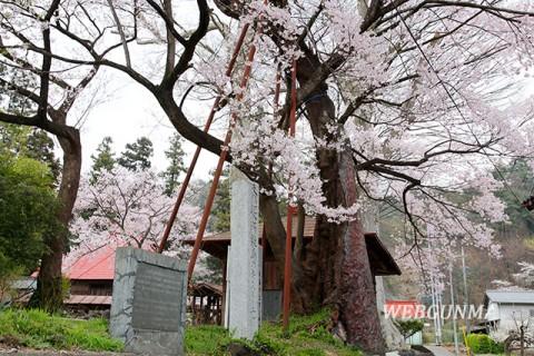 桜森のヒガンザクラ