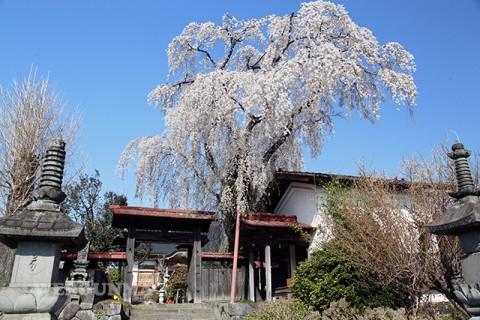 金蔵寺のしだれ桜