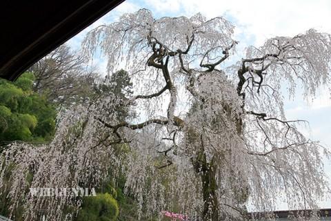 空恵寺のしだれ桜