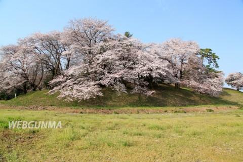 七輿山古墳(国指定史跡)と桜