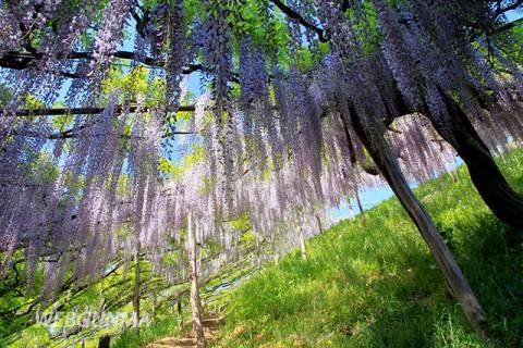 ナイアガラの藤(くろさわ藤園)頂上部の散策路の藤