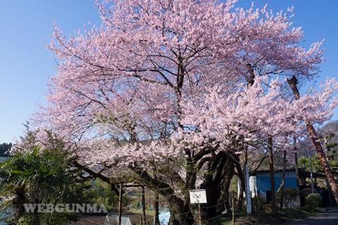 行田の彼岸桜(松井田)