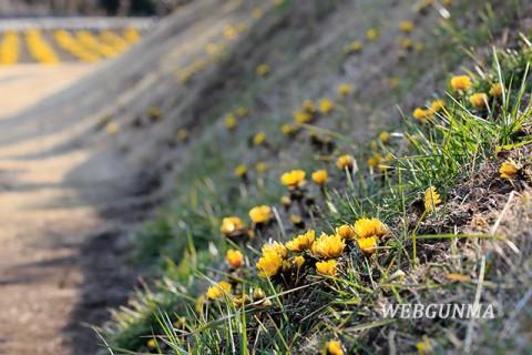 上神梅の福寿草