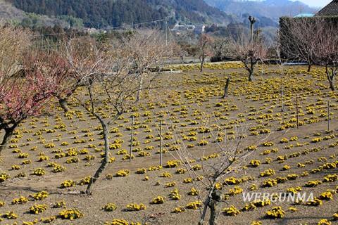 上神梅の福寿草畑