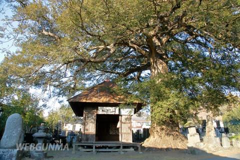 みどり市浅原にある薬師堂のカヤの木