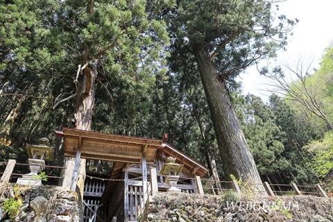 大仁田神社の大杉(南牧村)