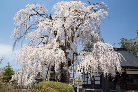 林昌寺のしだれ桜(中之条町)