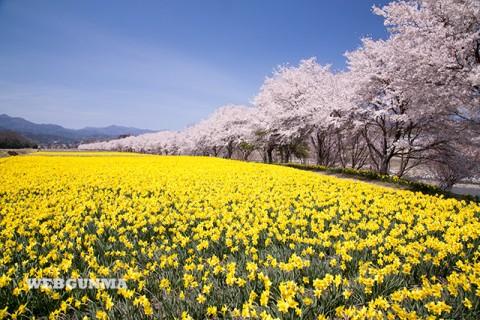 岩井親水公園の水仙と桜