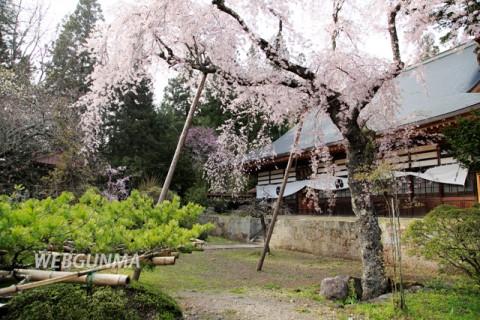 応永寺のしだれ桜