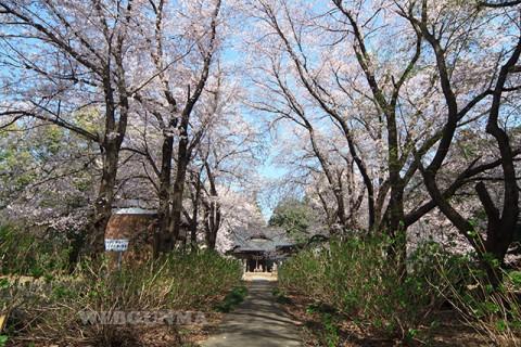 長柄神社参道のソメイヨシノ