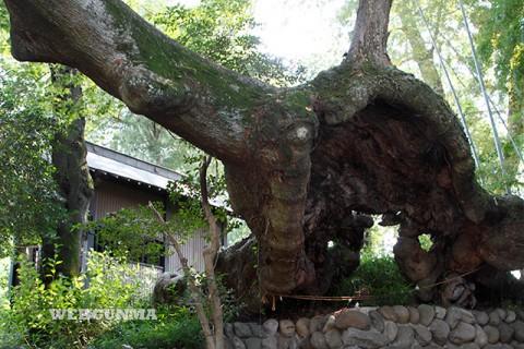 安中市指定天然記念物「熊野神社の大欅」