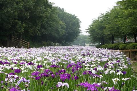 伊勢崎市 赤堀花しょうぶ園