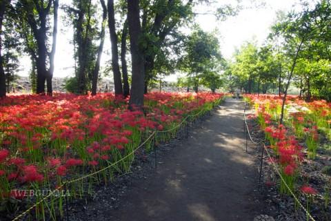早川渕彼岸花の里–境三ツ木ヒガンバナ群生地