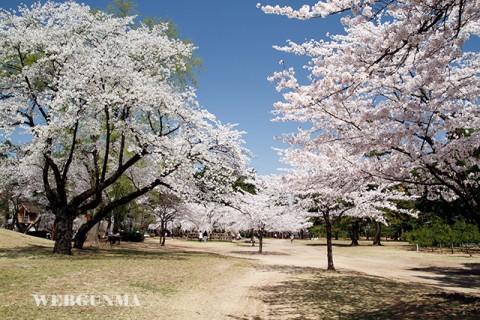 敷島公園内の桜