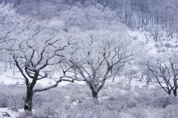 霧氷に包まれた白樺牧場の木々