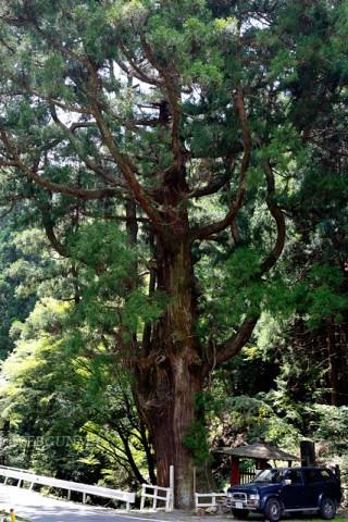 小平の大杉