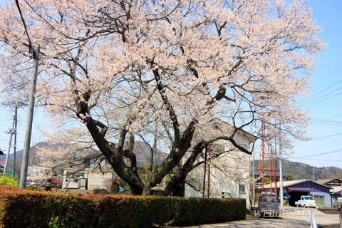 上津の姥桜