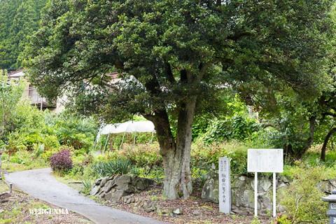 群馬県指定天然記念物 駒岩のヒイラギ