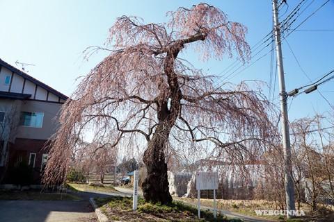 上古語父の枝垂れ桜