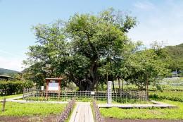 薄根の大クワ-国指定天然記念物