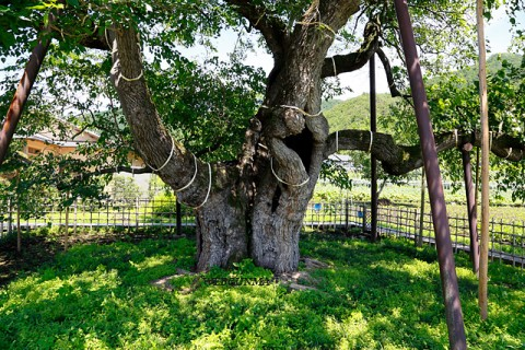 桑樹日本三名木「薄根の大クワ」