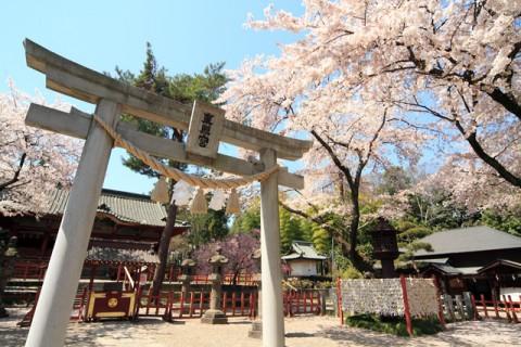 太田市 世良田の東照宮の桜