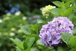 小野池あじさい公園 アジサイの花