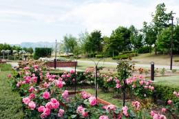玉村北部公園バラ
