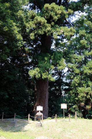 富岡神社の大杉